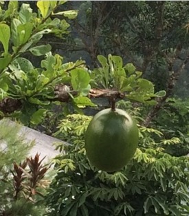 Photo: Local green fruit growing on bush
