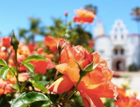 Photo: SDSU campus Hepner Hall in background, roses in foreground