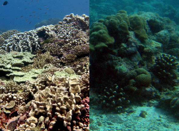 On the left is a coral-covered reef. On the right is one dominated by algae. Photo courtesy: Linda Wegley Kelly