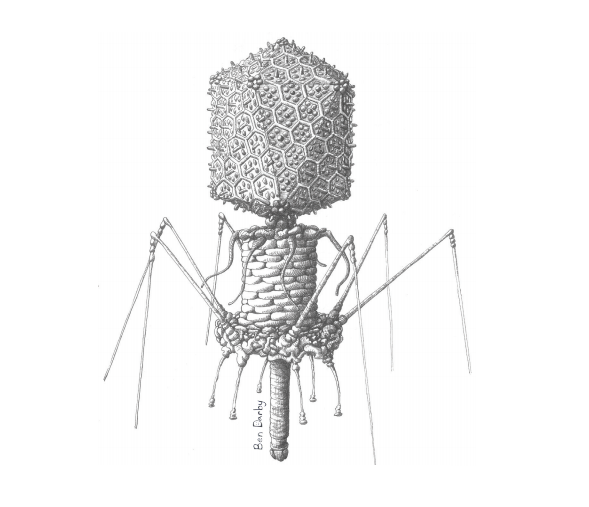 "SDSU biologists modified a T4 phage to see how its ability to stick to mucus influenced its ability to ""hunt"" bacteria. (Illustration: Ben Darby)"