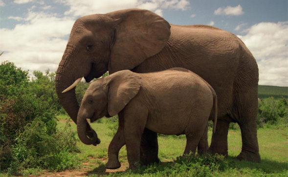 A pair of elephants in Addo Elephant National Park in the Eastern Cape.