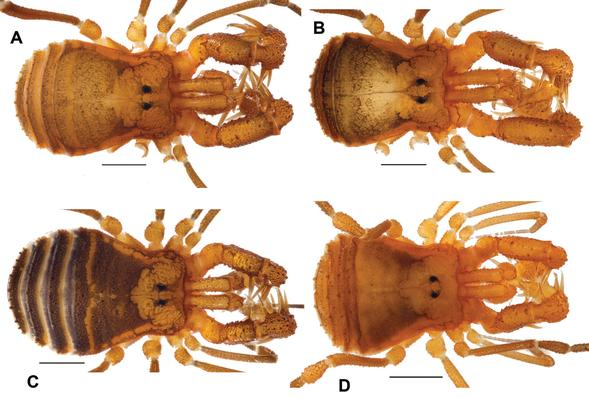 Specimens A and C are the previously discovered Cryptomaster leviathan. B and D are the newly described Cryptomaster behemoth. Credit: Marshal Hedin Lab