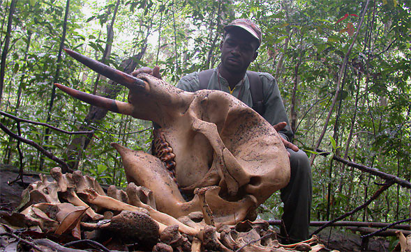 Illegal hunting is a severe threat to wildlife in many protected areas.  Shown is the skull of a young forest elephant (Loxodonta cyclotis) killed in southern Gabon (photo © Ralph Buij).