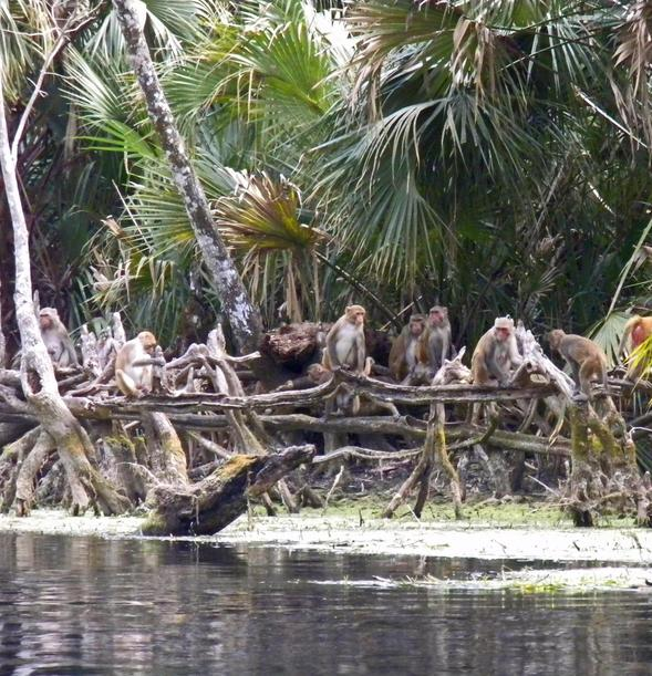 A group of rhesus macaques gathers along the Silver River in Florida's Silver Springs State Park. Photo courtesy of the National Geographic Society.