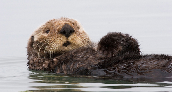 The sea otter is one of many marine mammals discussed in Berta's book.
