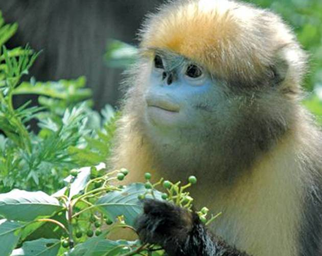 A Guizhou snub-nosed monkey in China's Fanjingshan National Nature Reserve. Photo courtesy of Xiaoping Lei