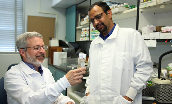 Professor Sanford Bernstein and Girish Melkani, a research assistant professor of biology work with fruit flies in their lab at SDSU.