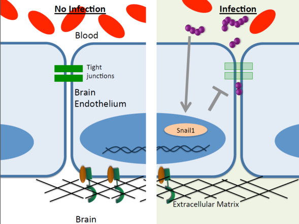 Breaking through the blood brain barrier newscenter sdsu this diagram shows how the snail1 transcription factor protein leads to the breakdown of tight junctions ccuart Choice Image