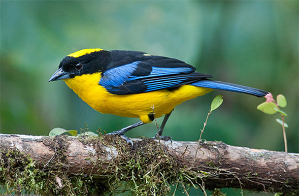 A Blue-winged Mountain-Tanager.