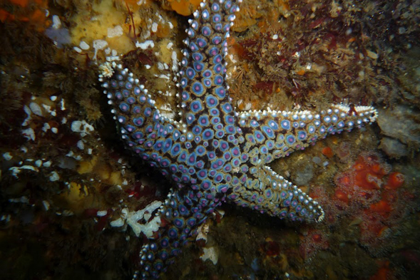 A giant sea star (Photo credit: Renee Dolecal)