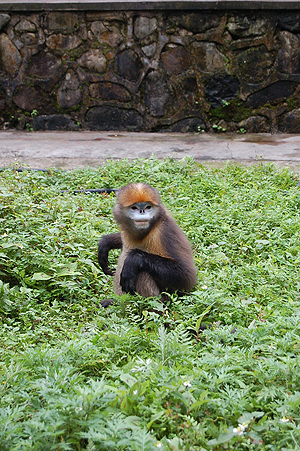 The Guizhou snub-nosed monkey was the focus of anthropology grad student Amanda Sheres' research.
