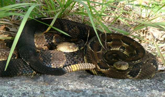 Small groups of female timber rattlesnakes aggregated in the wild. Photo credit: Matthew Simon