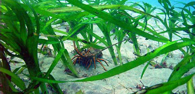 Spiny lobsters are the most valuable fishery species in Southern California.