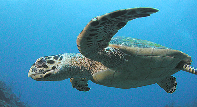 The hawksbill turtles were once considered extinct in the eastern tropical Pacific Ocean. Photo courtesy of Clark Anderson/Aquaimages.