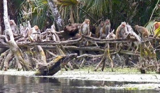 A group of rhesus macaques gathers along the Silver River in Florida's Silver Springs State Park.