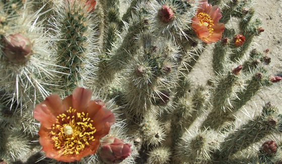 A wolf's cholla blooms in the Anza-Borrego desert. (Credit: Tracie Hall/Wikimedia Commons)