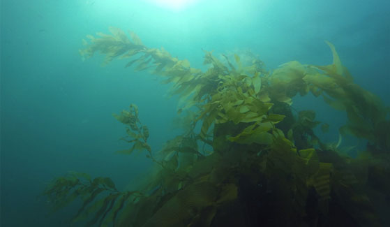 California Kelp