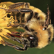 Bumble bees face different risks of disease transmission depending on which flowers they visit.
