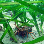 spiny lobster in sea grass