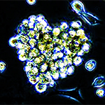 These photomicrograph cardiac stem cells isolated from mouse hearts clustered together in the shape of a heart.