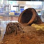 This pet tarantula lives in SDSU spider researcher Marshal Hedin