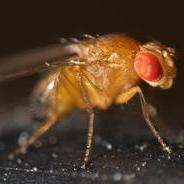SDSU investigators found that flies with a double-mutation in their myosin protein had better protein function than those with a single mutation.