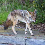 A coyote walks on a sidewalk in a neighborhood. (Credit: Janet Kessler/coyoteyipps.com)