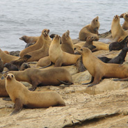 California sea lions (Credit: Mark Lowry)