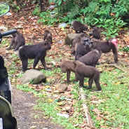 Endangered moor macaques gather alongside the road in a national park in Indonesia, searching for food among garbage. Anthropologist Erin Riley is building a research-driven intervention to discourage littering and protect the threatened species.