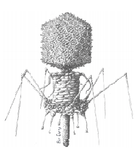 SDSU biologists have discovered bacteriophages have a unique way of hunting prey.