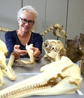 Biologist Annalisa Berta, seen here with skulls from a variety of marine mammals, was elected a fellow of the American Association for the Advancement of Science.