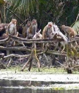 A group of rhesus macaques gathers along the Silver River in Florida