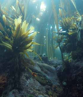 A kelp forest from the bottom up on Yunaska Island.
