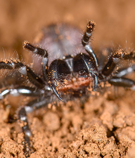 A species of Australian funnel-web spider. (Credit: Marshal Hedin)
