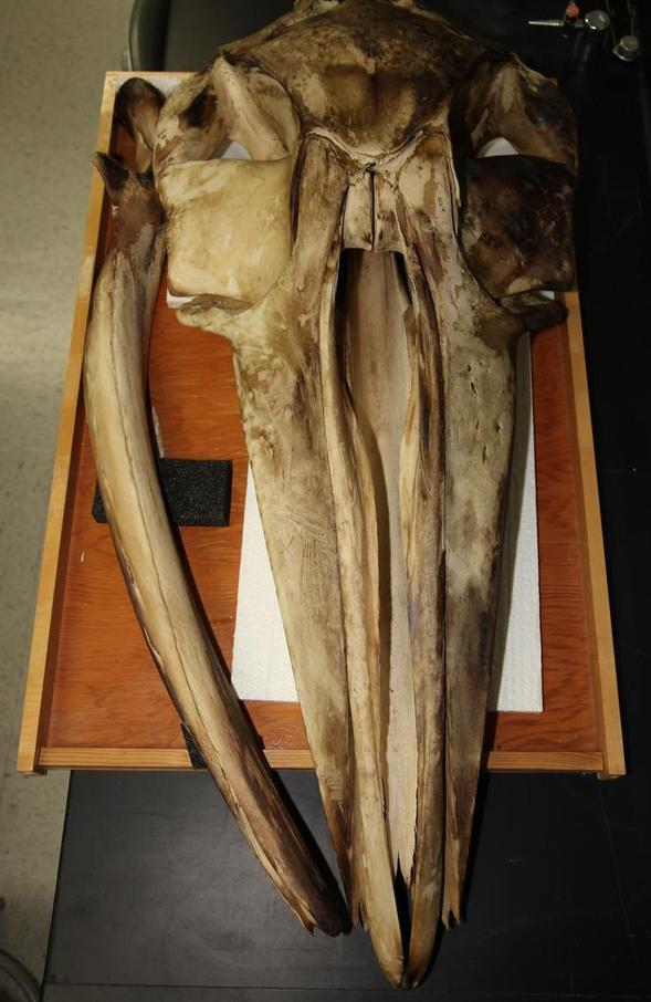 The fin whale skull in this study now resides in SDSU's Museum of Biodiversity.